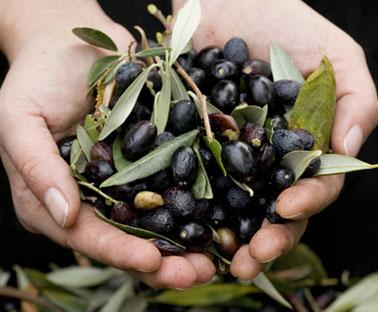 olio salvo - oliveti